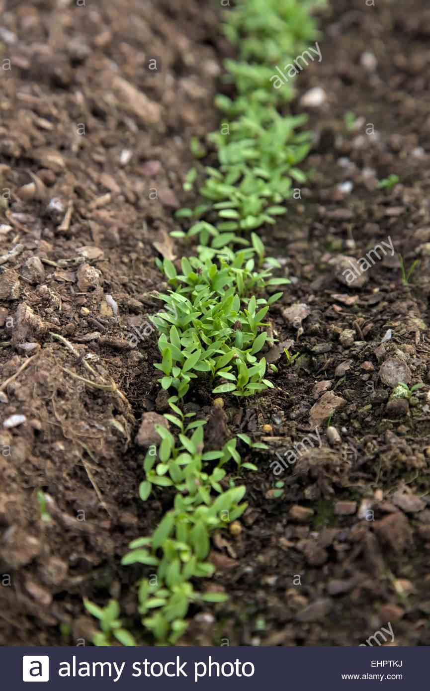 Petroselinum Crispum Ein Januar Gesat Bohrer Petersilie Samen