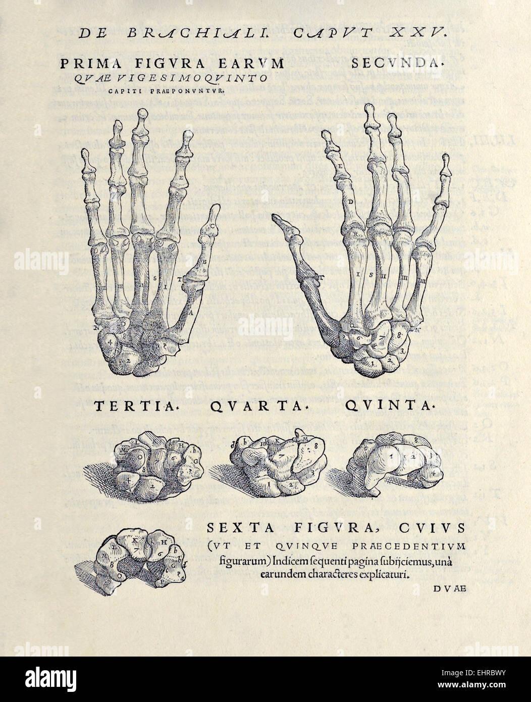 Der Carpus und Knochen der Hand und die acht Knochen des Handgelenks ...