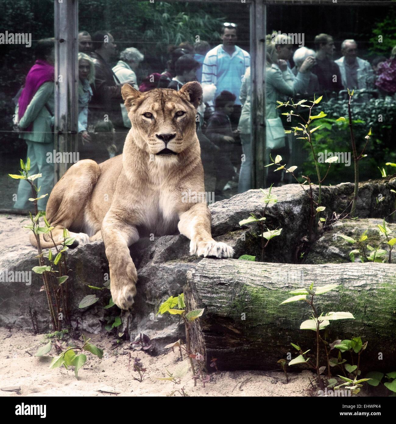 Löwen und Menschen, Duisburger Zoo, Deutschland. Stockbild