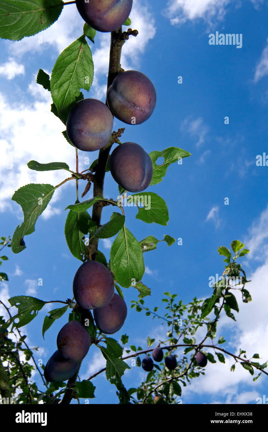 Reife Pflaumen wachsen auf Zweig der Pflaumenbaum (Prunus Domesticus) Stockbild