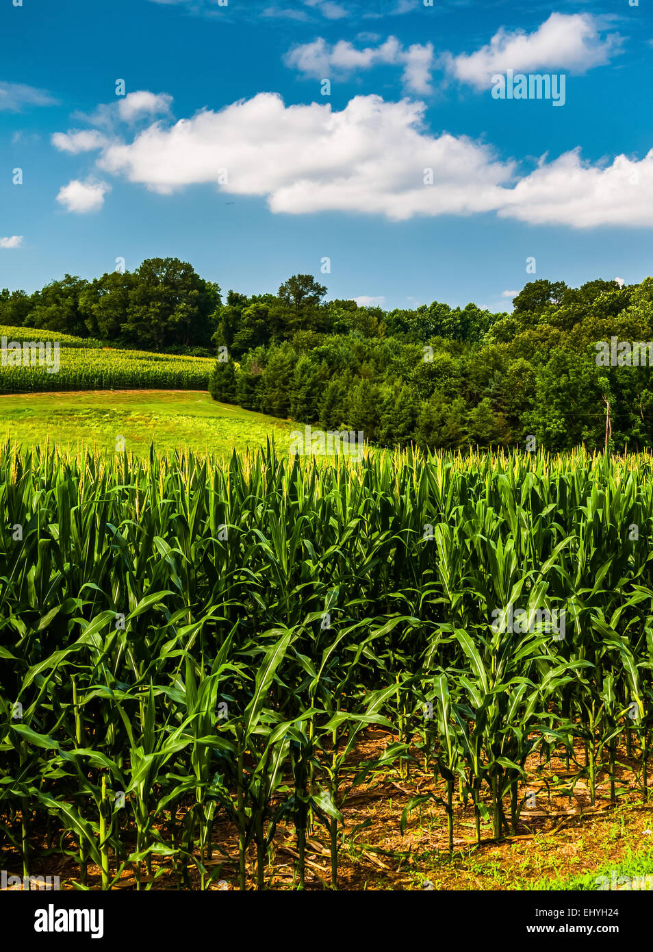 Maisfeld und Rollings Hügel im südlichen York County, Pennsylvania. Stockbild