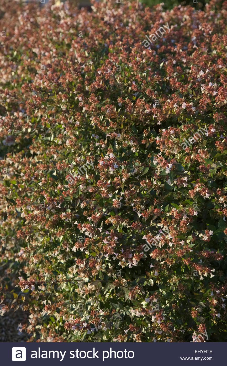 Abelia Grandiflora verwendet als Garten Hecke Stockfoto Bild