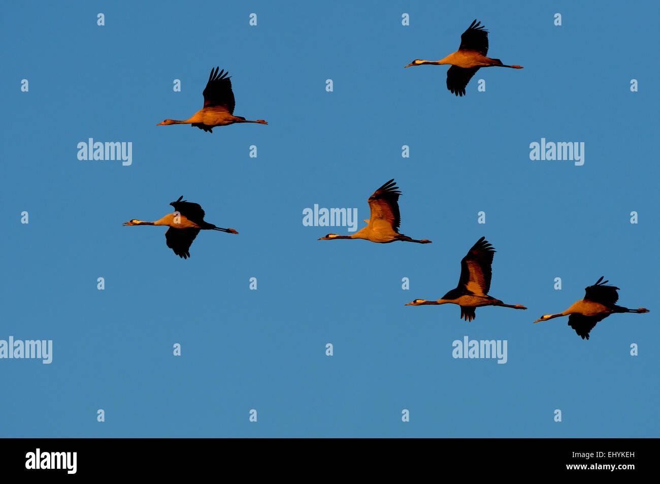 Kran, Grus Grus, Vögel, Kraniche, graue Kraniche, waten Vogel, Mecklenburg-Vorpommern, Vogelzug, Deutschland Stockbild