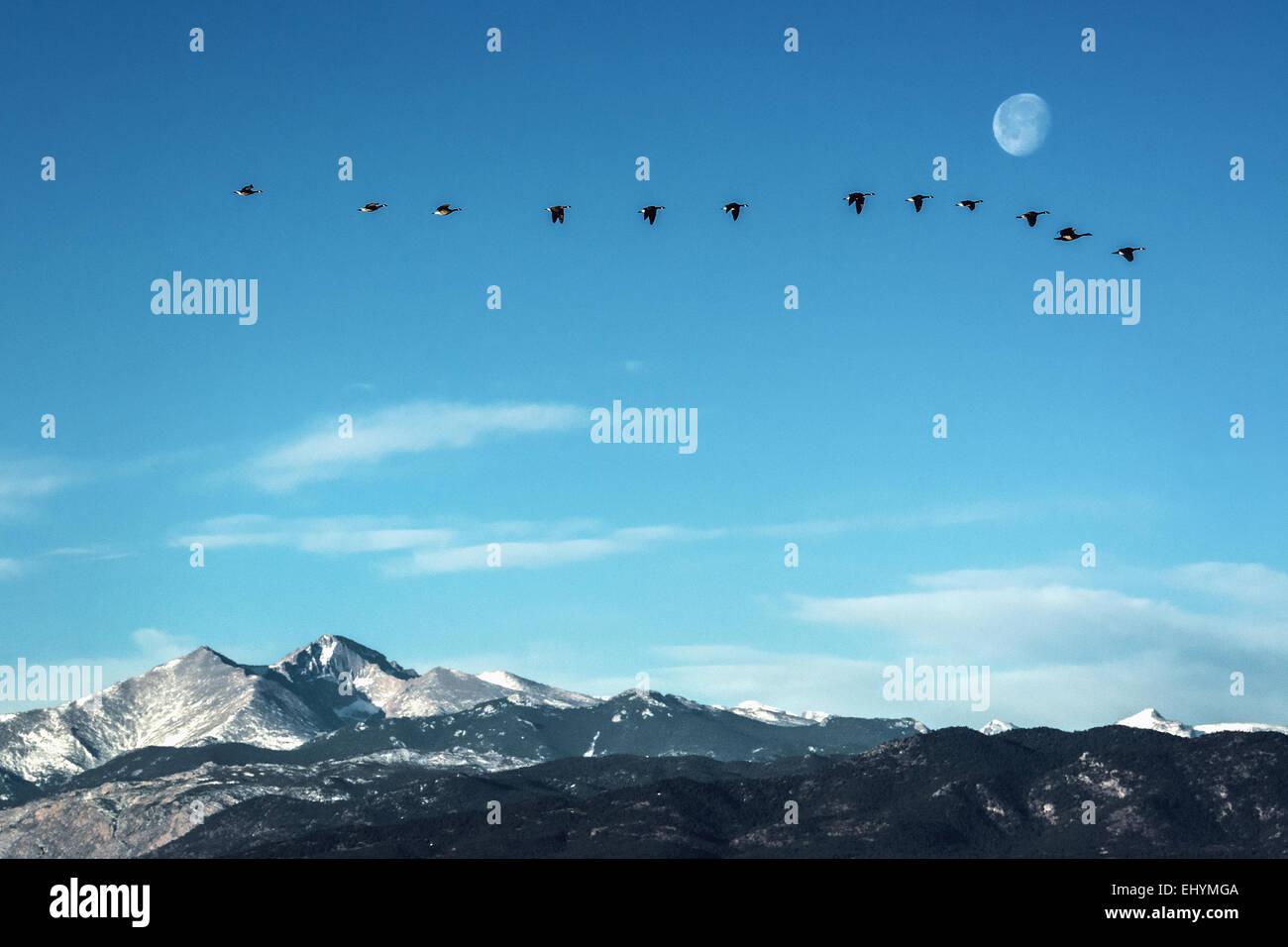 Schwarm Gänse fliegen vor dem Mond über die Gipfel der Rocky Mountains, Colorado Stockbild