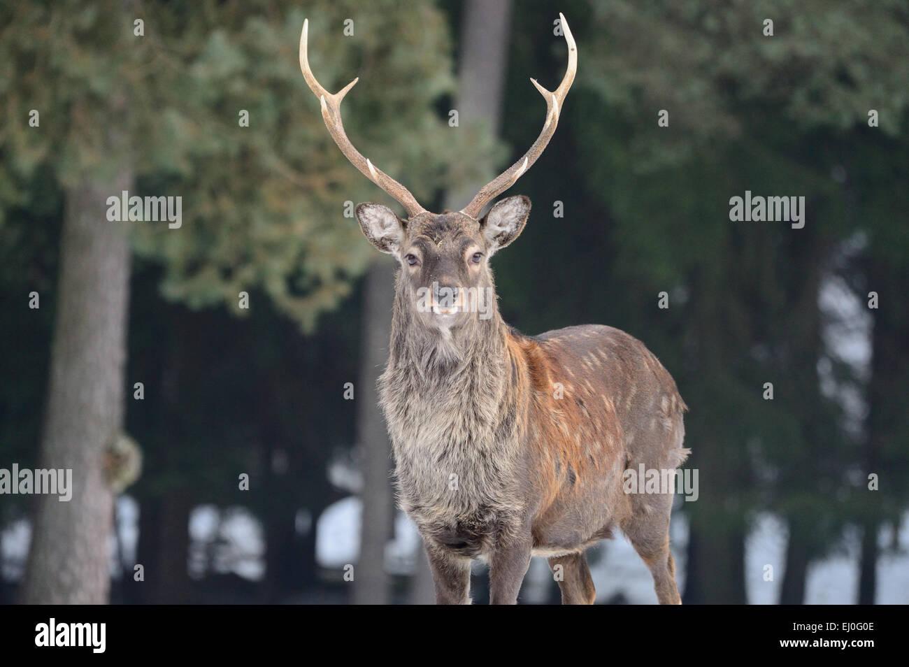 Sika, Tier, Tier, Winter, japanische Reh, Hirsch, Hirsch, Cervus Nippon, Rehe, Hirsche, Tiere, Wildtiere, asiatische Stockbild