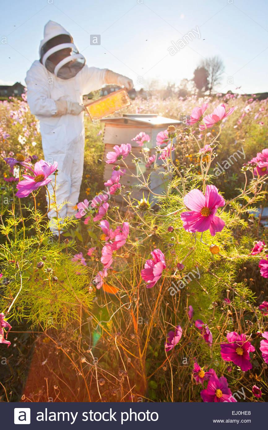 Imker Honig im Bienenstock Frame im Bereich Prüfung voller Blumen Stockbild
