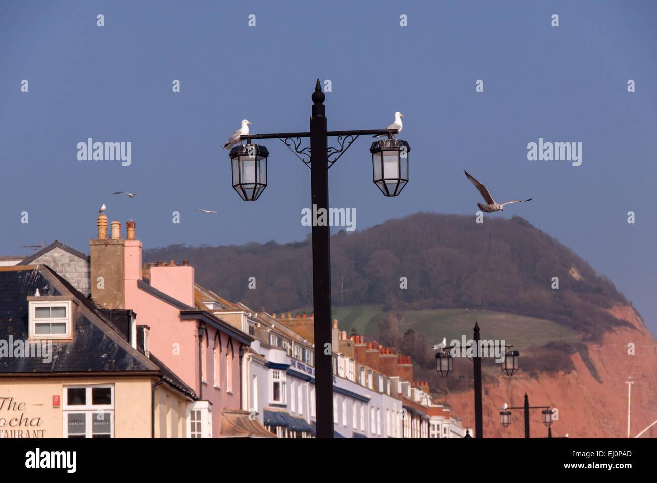 Möwen auf der Esplanade in Sidmouth, Devon - ein ständiges Problem in der Stadt. Falknerei wird verwendet, Stockbild