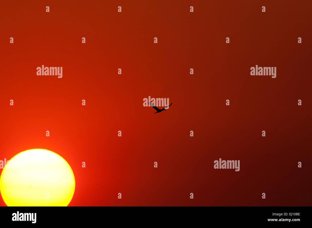 Asiatischer Openbill, fliegen, Thailand, Bec, Ouvert Indien, Vogel, Wader, Anastomus Oscitans, Flug, Sonnenuntergang Stockbild