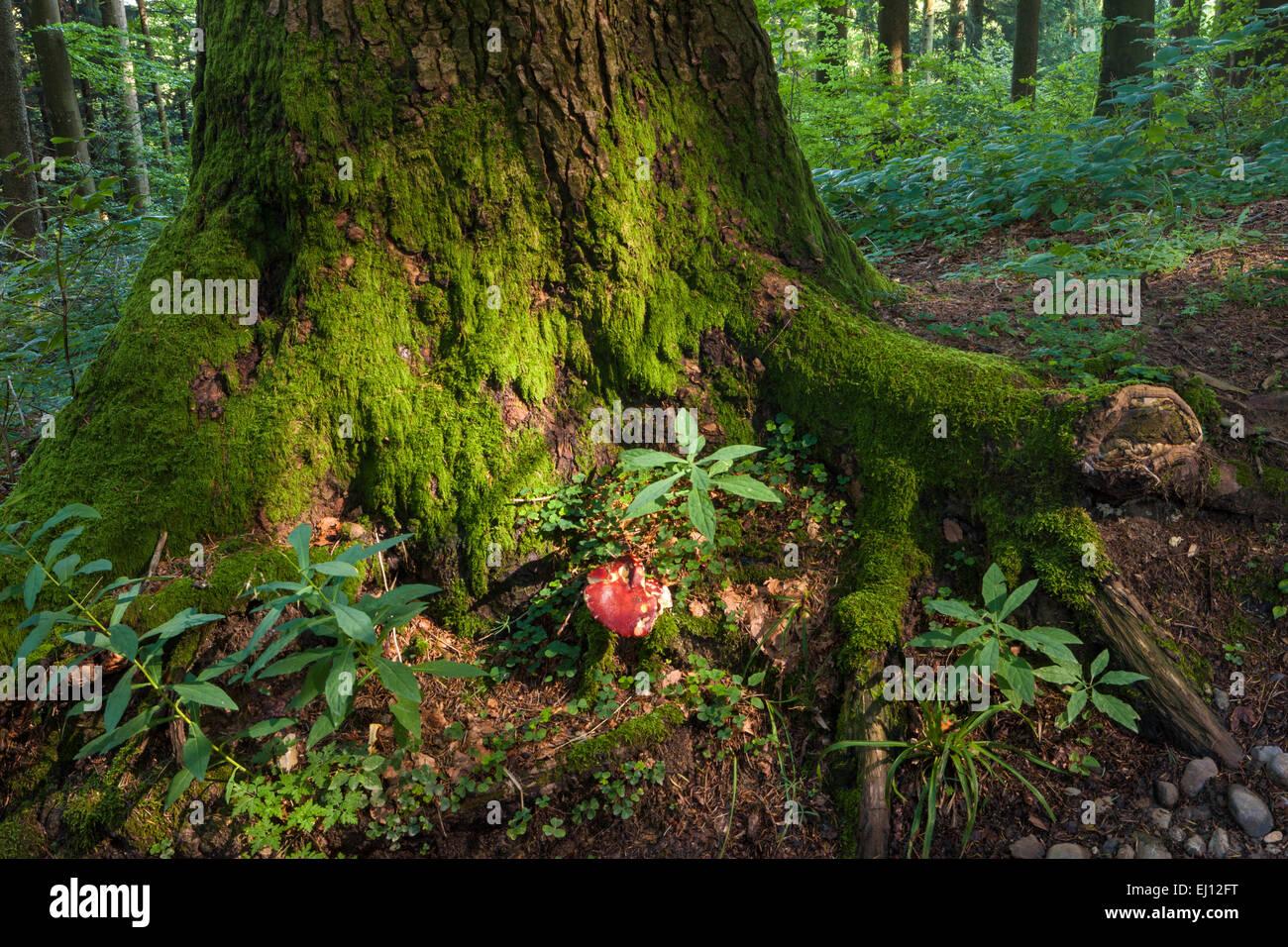 Hundwiler Höhe, Hundwil Höhe, Schweiz, Europa, Kanton Appenzell, Ausserrhoden, Holz, Wald, Bäume, Pilze Stockfoto