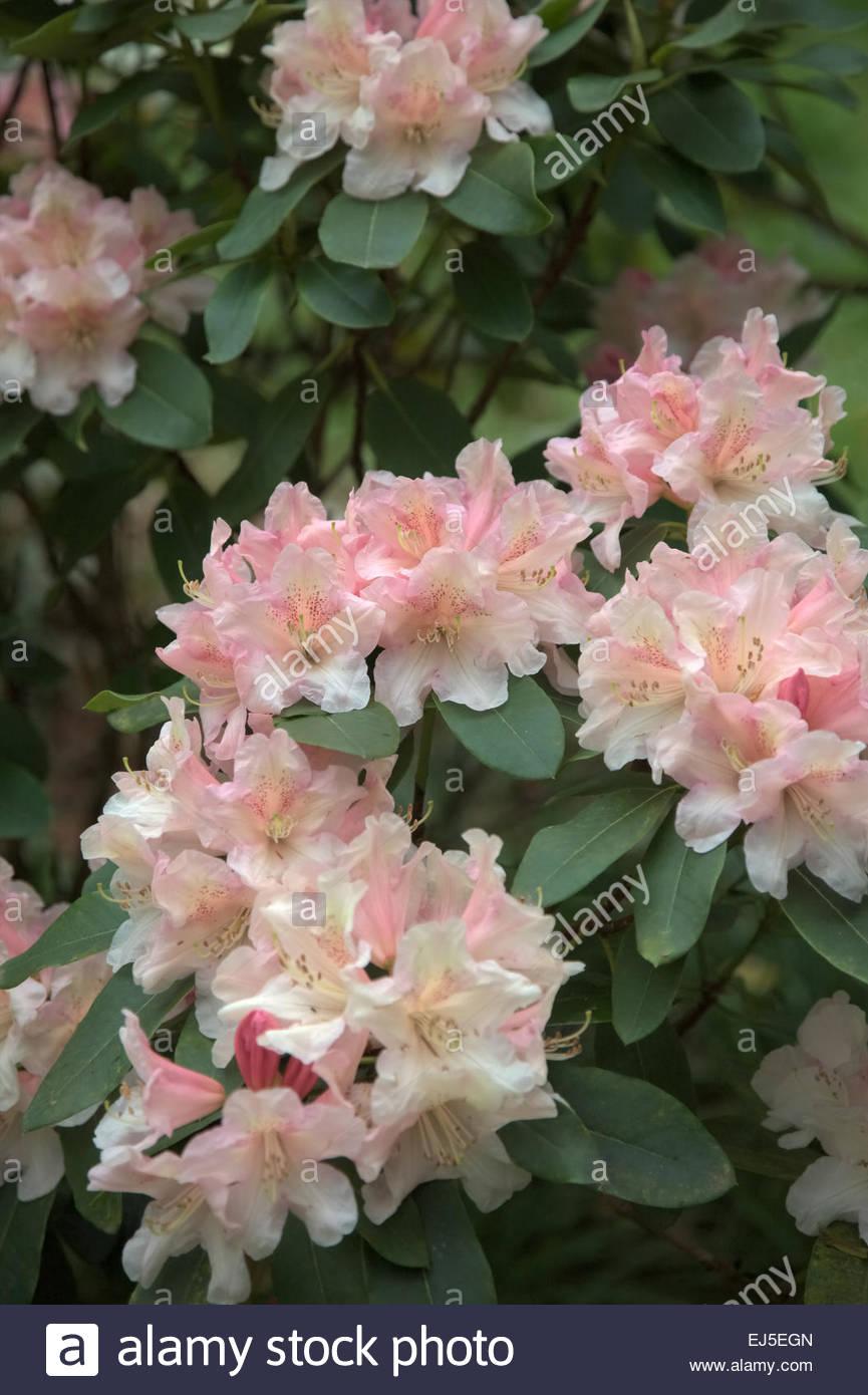 Pink Peach Flower Hardy Stockfotos Pink Peach Flower Hardy Bilder