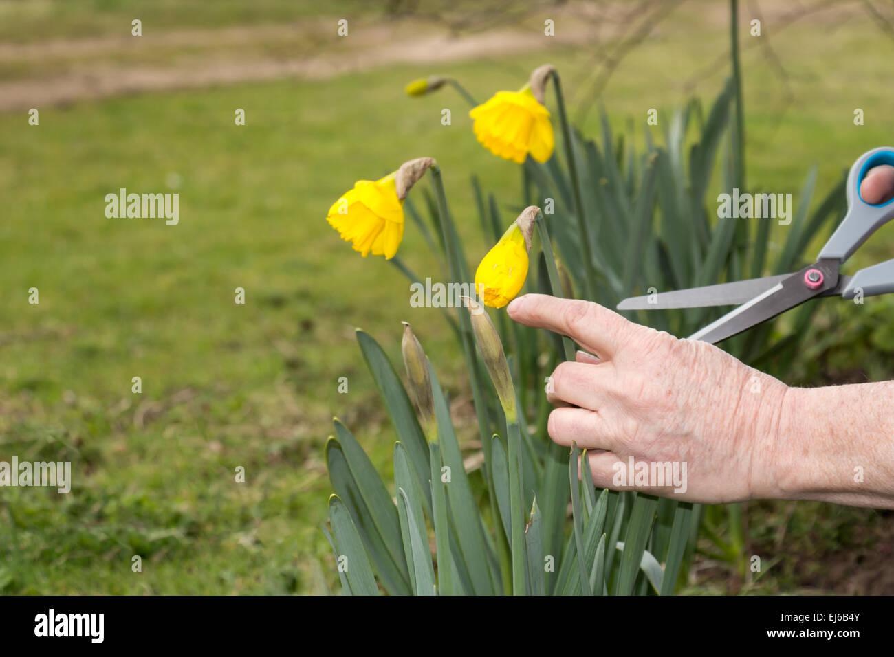 Senior woman schneiden Blumen im Garten Stockbild