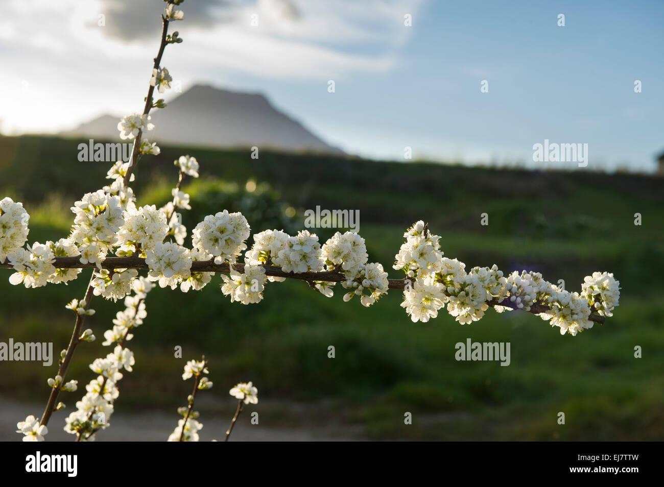 Obst-Blüten am Fuße des Gebirges Winterhoek, Tulbagh, Südafrika Stockbild