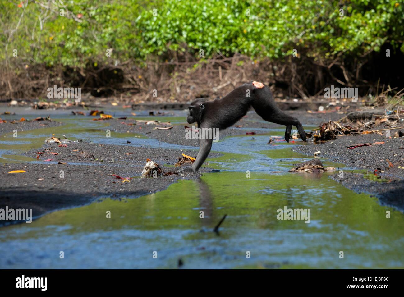 Sulawesi schwarz-crested Makaken (Macaca Nigra) springt über Wasserstraße im Tangkoko Duasudara Nature Stockbild