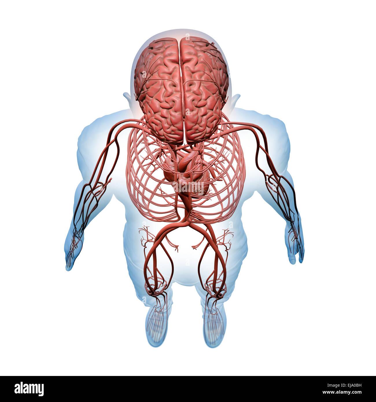 Human Organ Systems Stockfotos Human Organ Systems Bilder Alamy