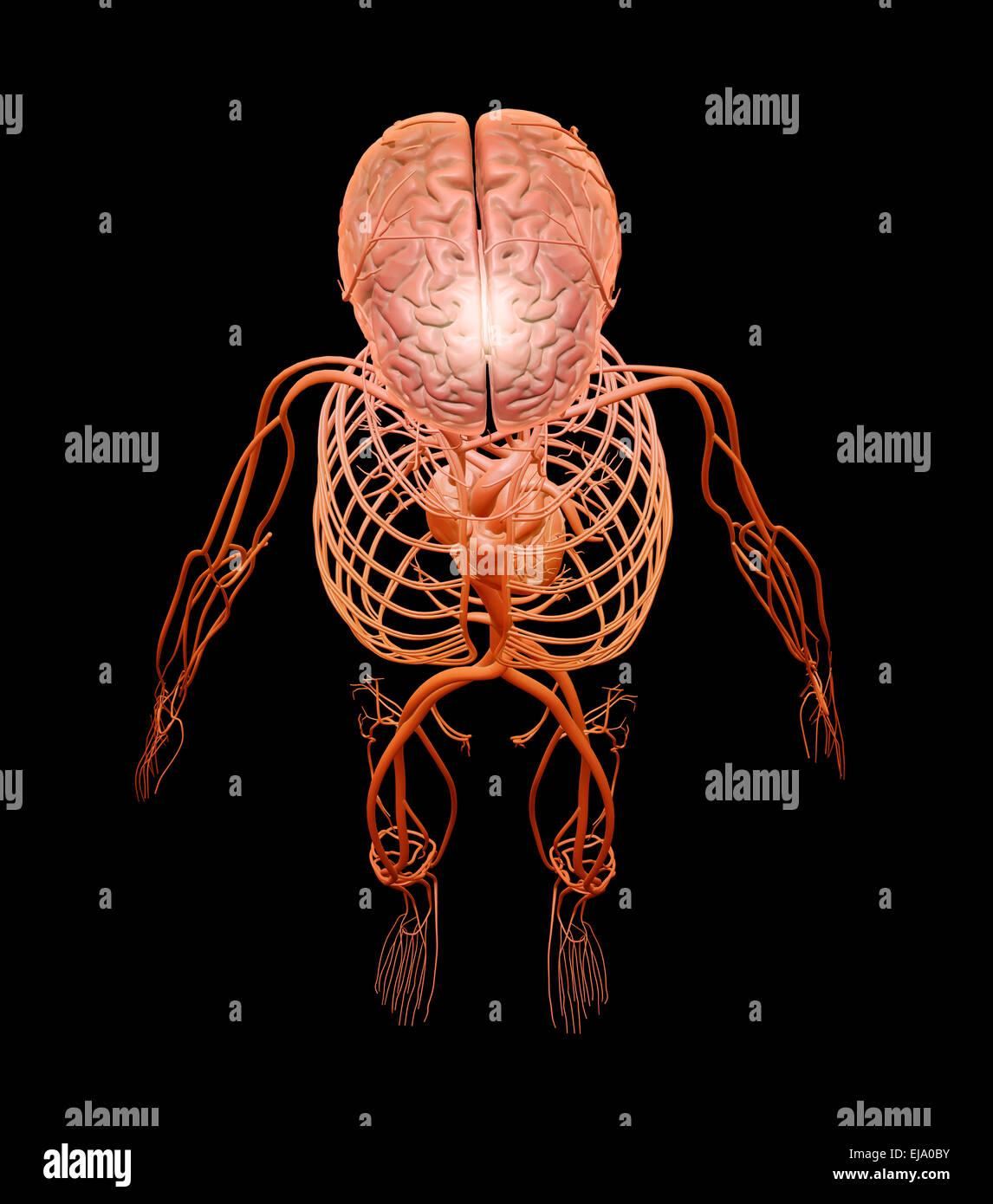Menschliche Anatomie-Illustration - zentrale Nervensystem und Herz ...