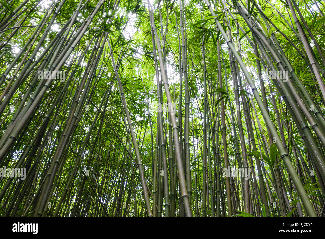 Bambuswald In Maui Hawaii Stockfoto Bild 80179674 Alamy