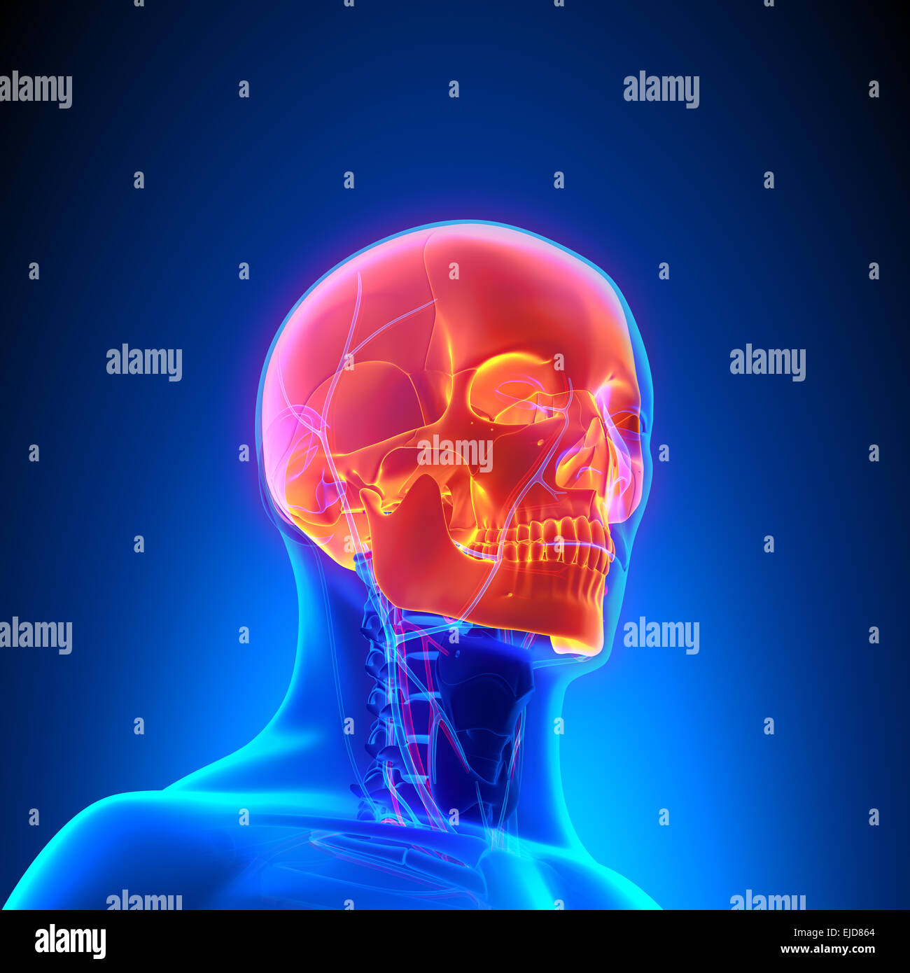 Ausgezeichnet Kreislaufsystem Anatomie Fotos - Menschliche Anatomie ...