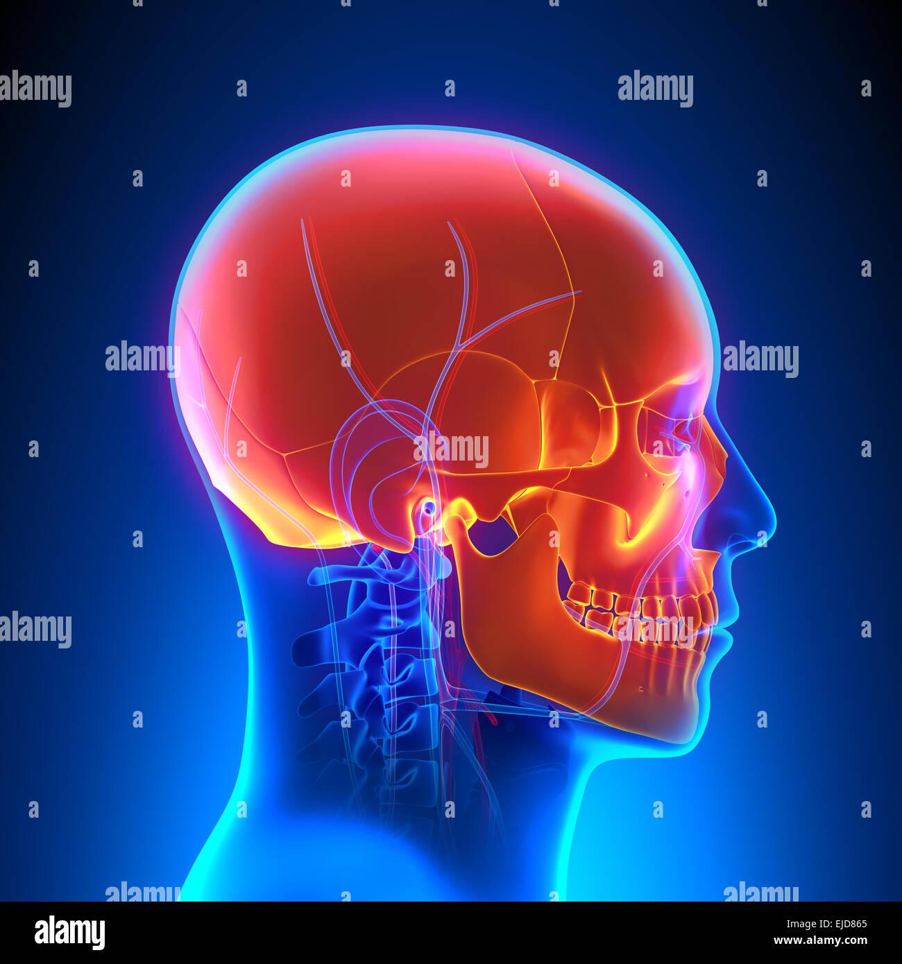Groß Anatomie Des Menschen Herz Kreislauf System Bilder ...
