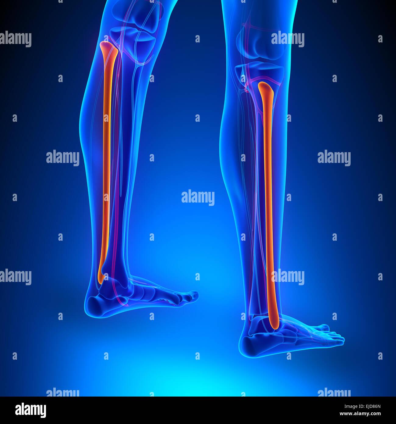 Wadenbein (Fibula) Knochen Anatomie mit Herz-Kreislauf-System ...