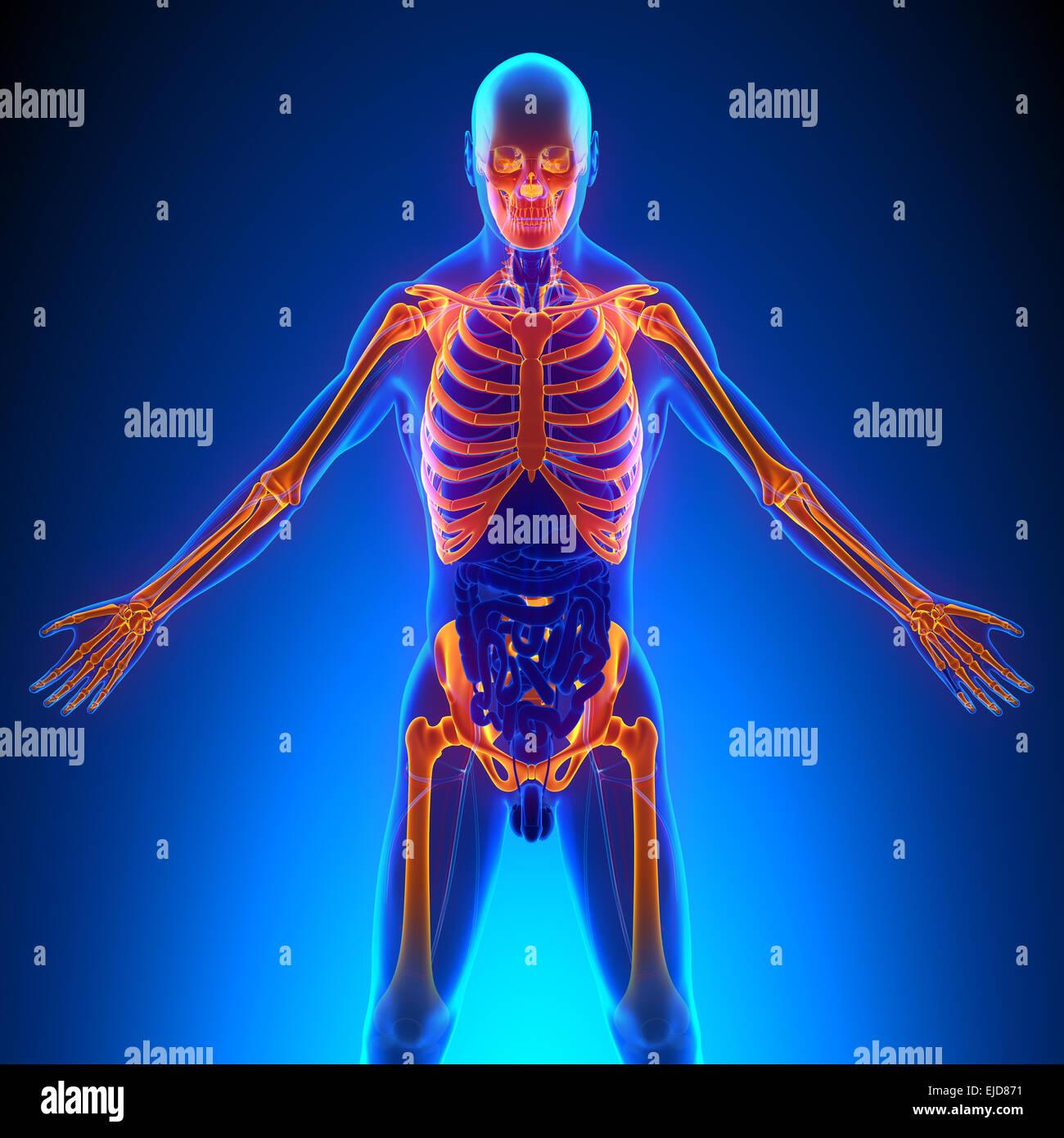 Anatomie der oberen Skelett Knochen Stockfoto, Bild: 80197125 - Alamy