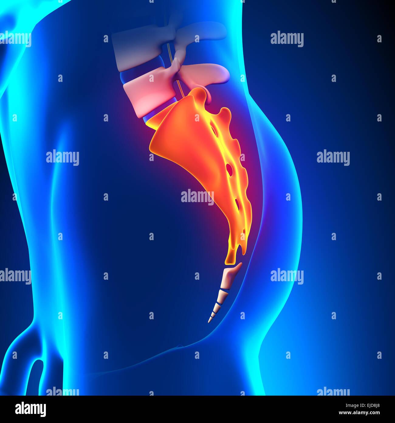 Kreuzbein Knochen Anatomie Schmerz Stockfoto, Bild: 80197440 - Alamy