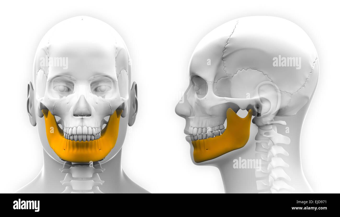 Männlichen Unterkiefer Knochen Schädel Anatomie - isoliert auf weiss ...