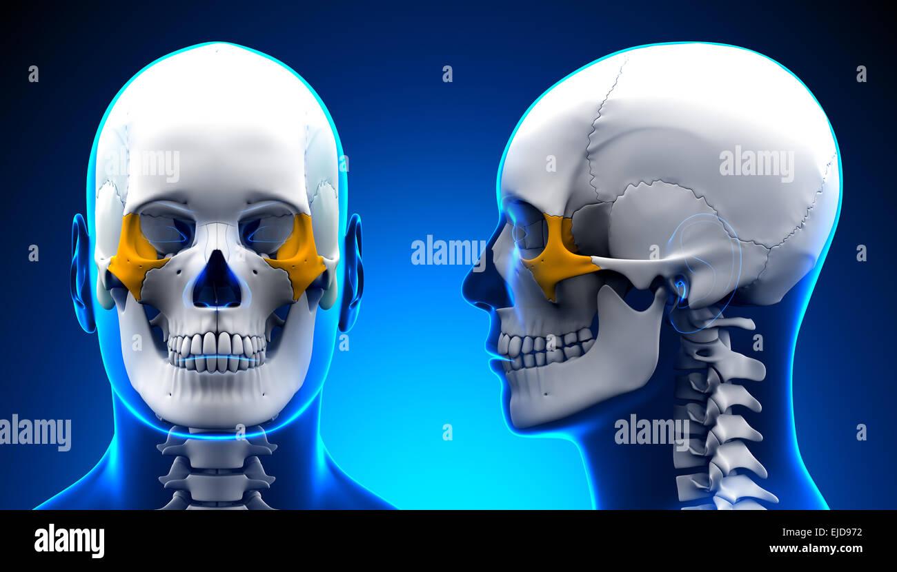 Männliche Zygomatic Knochen Schädel Anatomie - blue Konzept ...