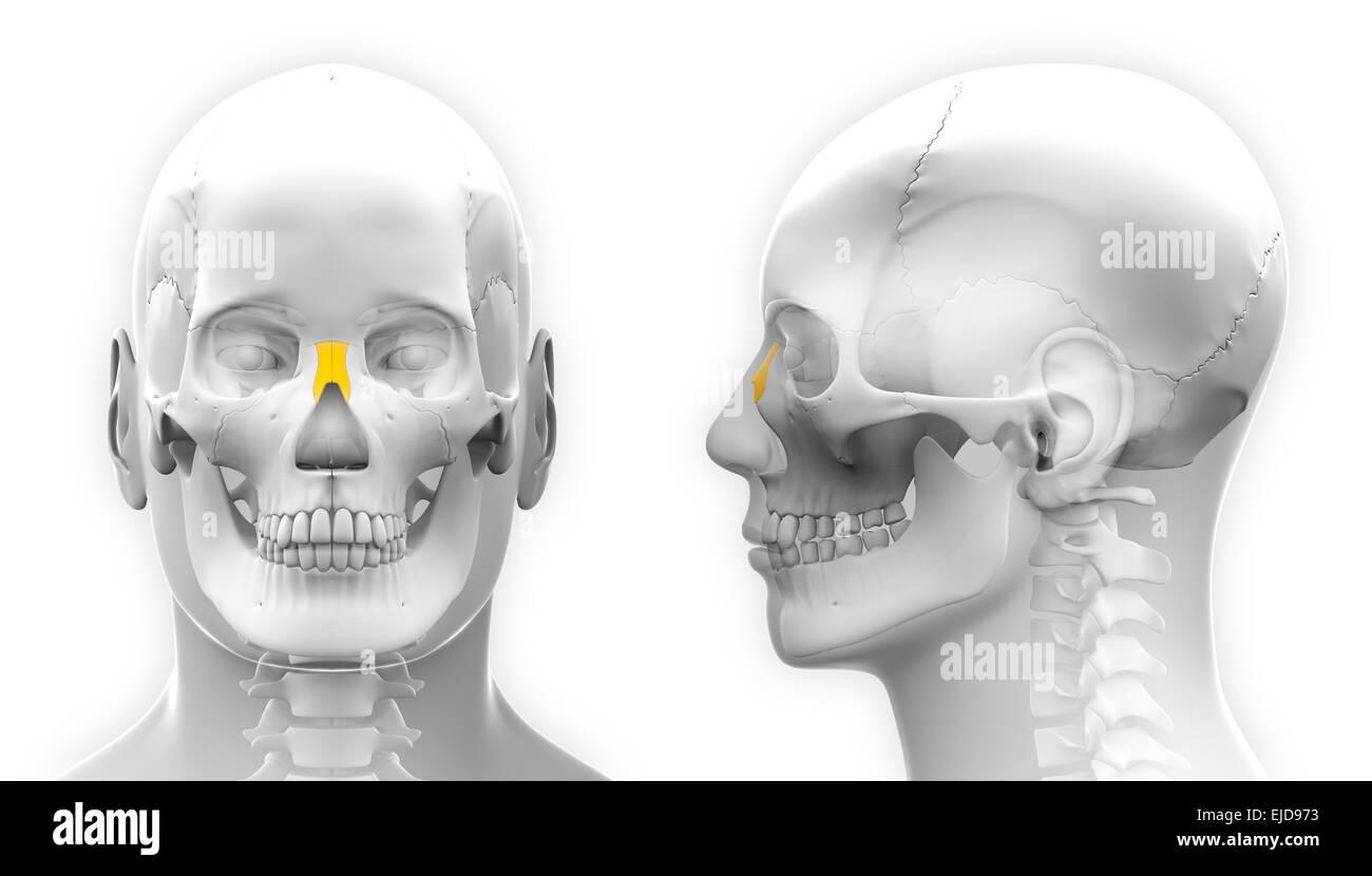 Männliche nasale Knochen Schädel Anatomie - isoliert auf weiss ...