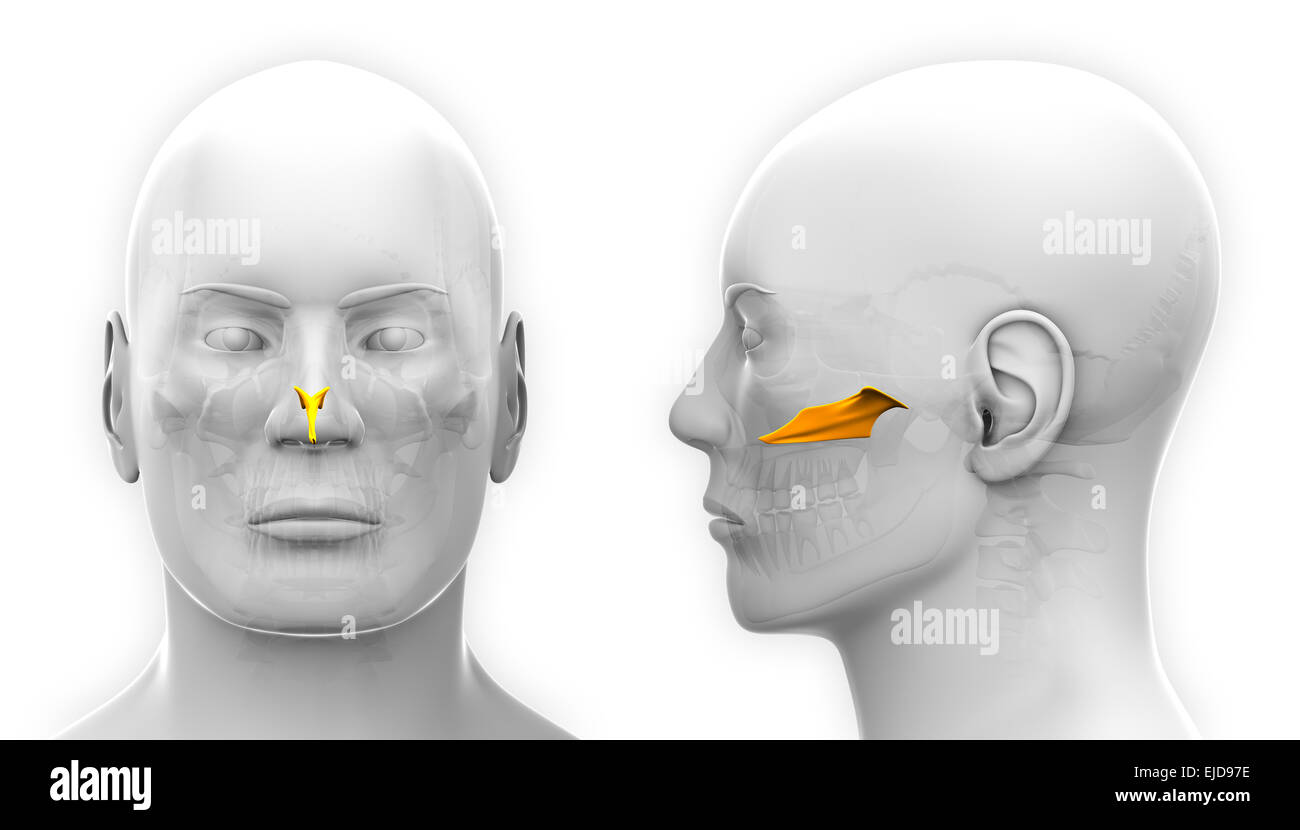Berühmt Anatomie Gesichtsknochen Ideen - Anatomie Ideen - finotti.info