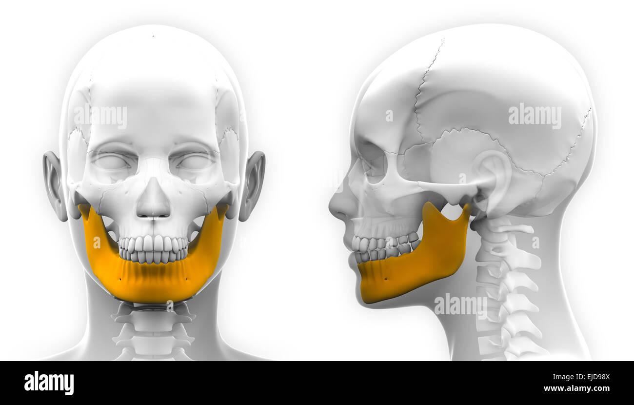 Weibliche Unterkiefer Knochen Schädel Anatomie - isoliert auf weiss ...