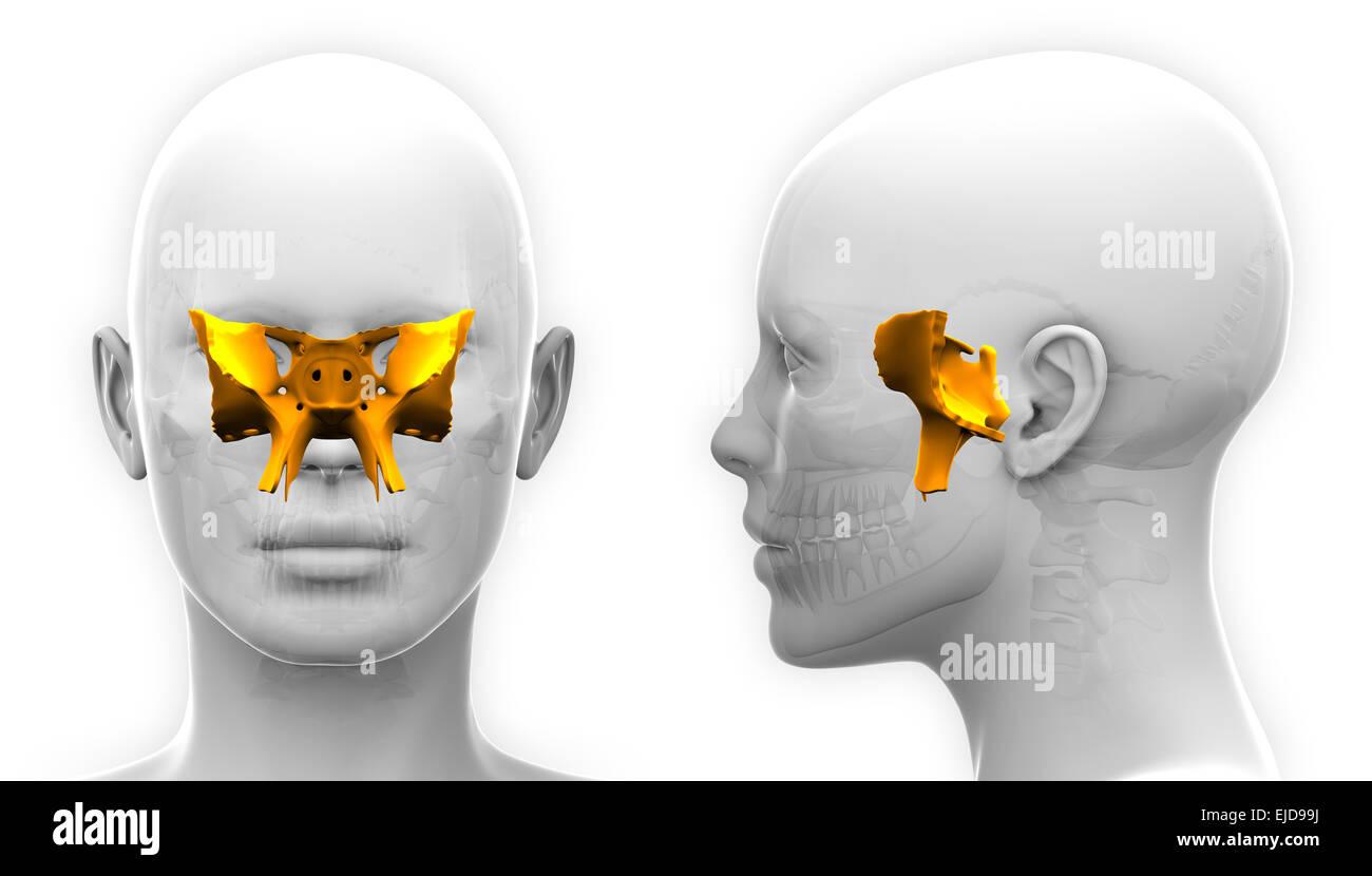 Sphenoid Stockfotos & Sphenoid Bilder - Alamy