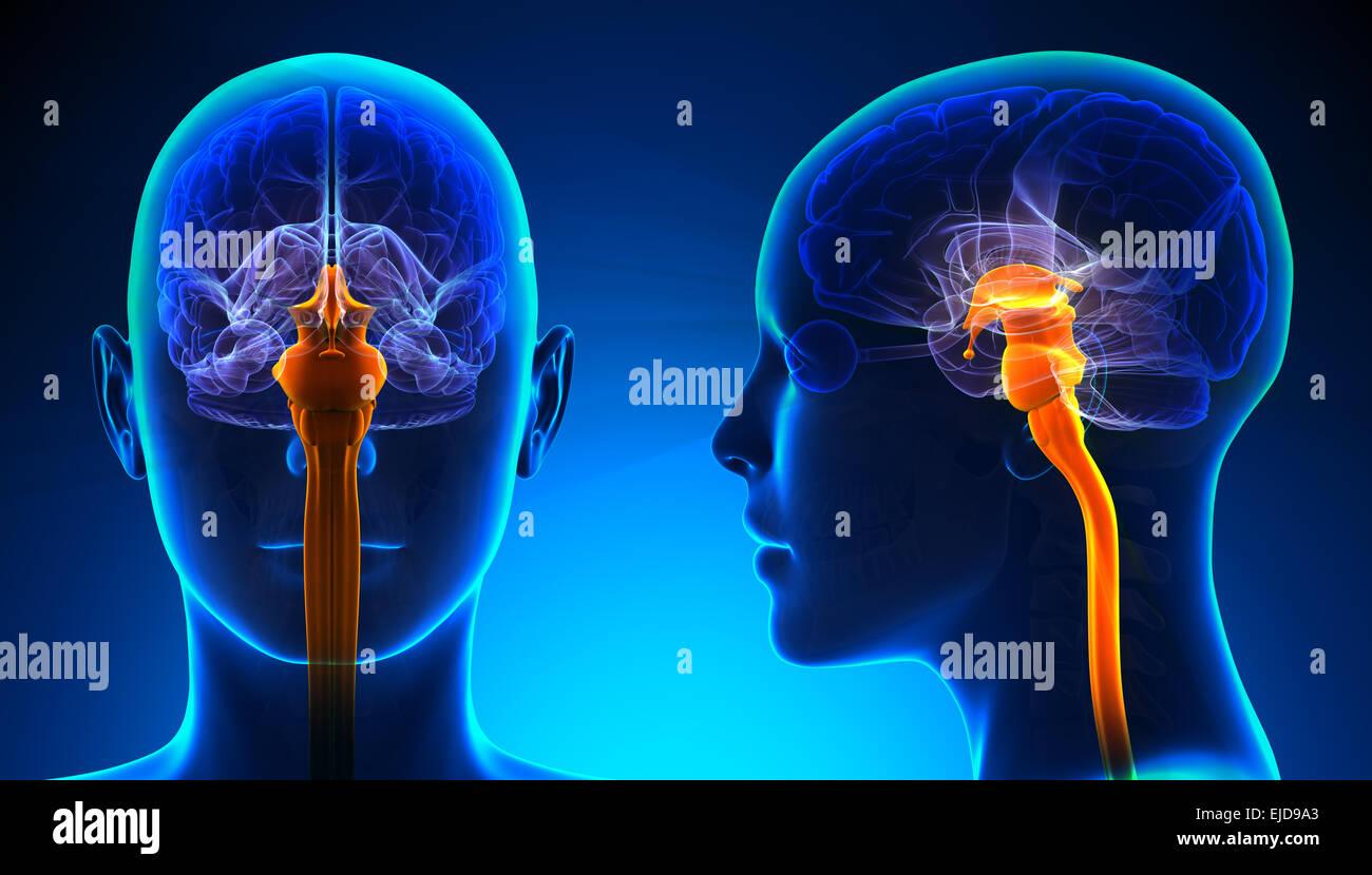 Weibliche Anatomie des Rückenmarks Gehirns - blue Konzept Stockfoto ...