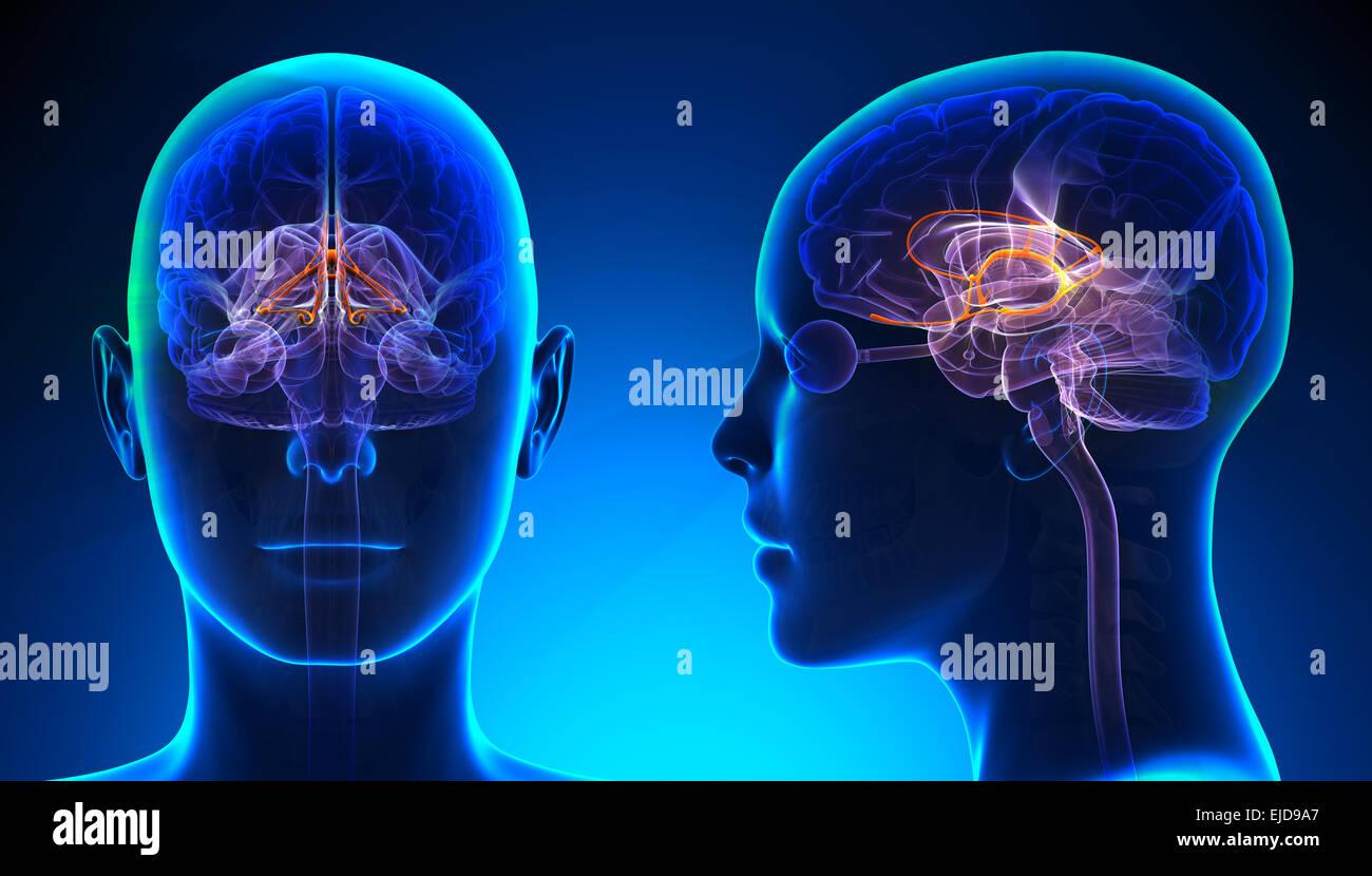 Weibliche limbischen System Gehirn Anatomie - blue Konzept Stockfoto ...