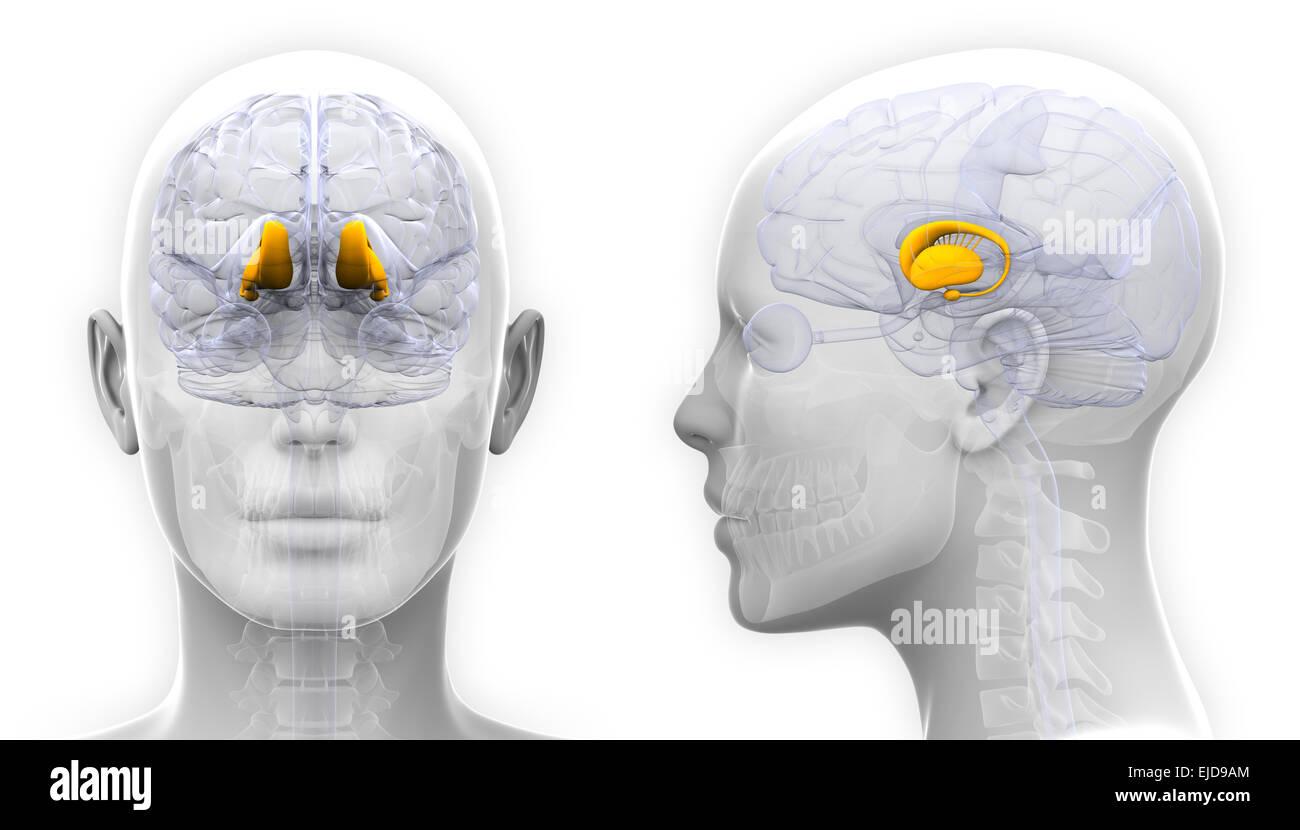 Brain Hemisphere Stockfotos & Brain Hemisphere Bilder - Alamy