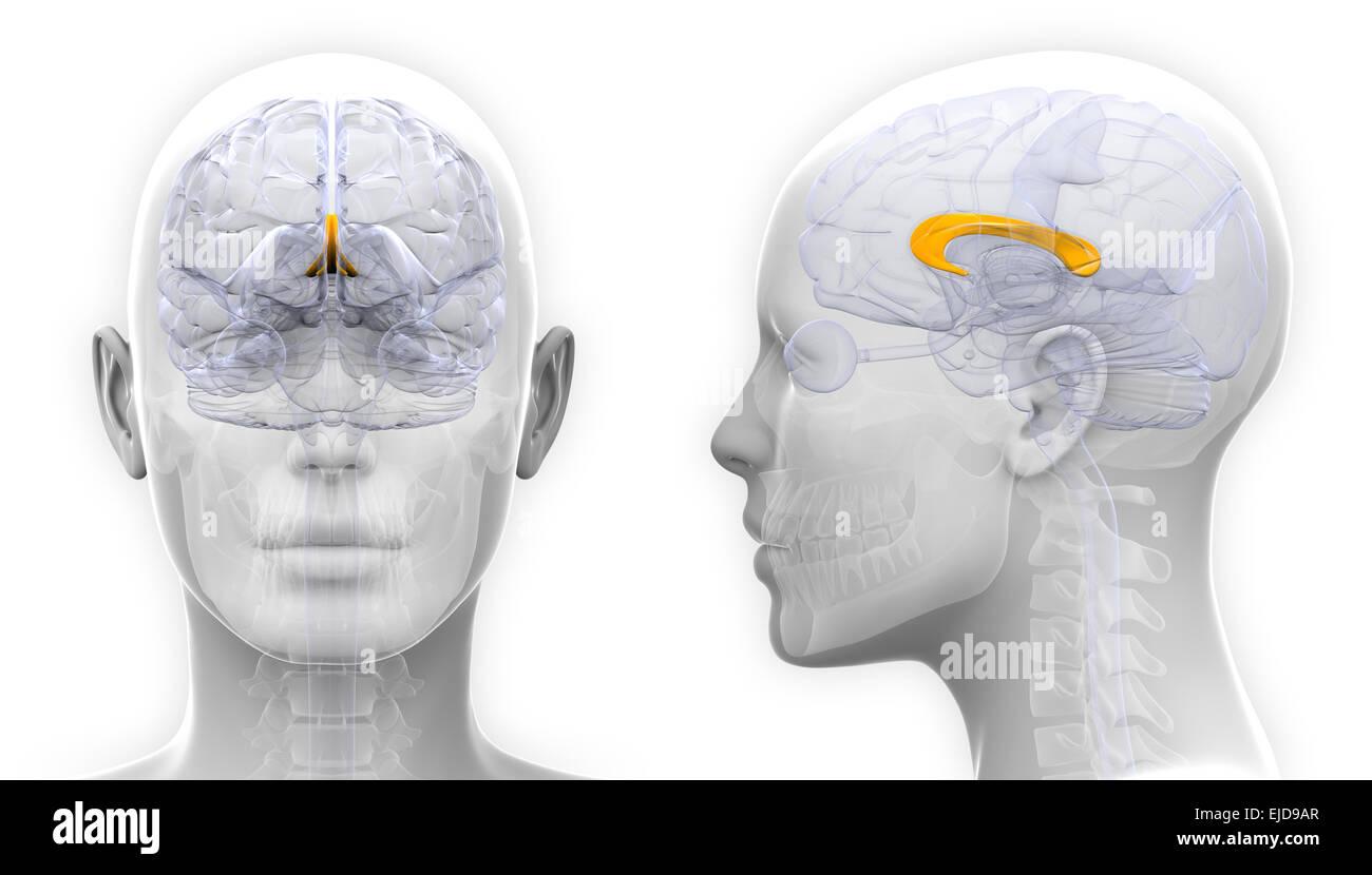 Weibliche Corpus Callosum-Gehirn-Anatomie - isoliert auf weiss ...