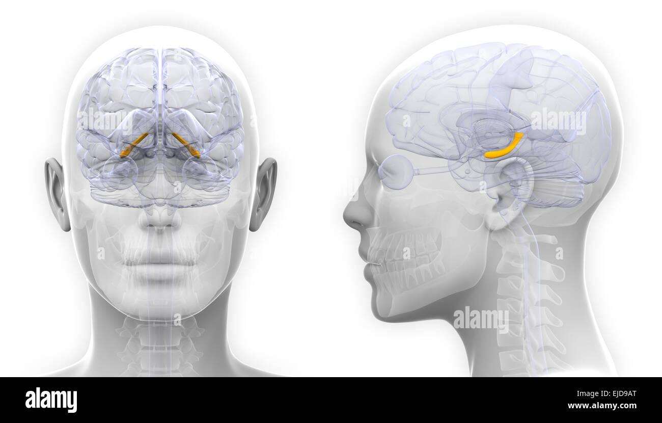 Female Brain 3d Stockfotos & Female Brain 3d Bilder - Alamy