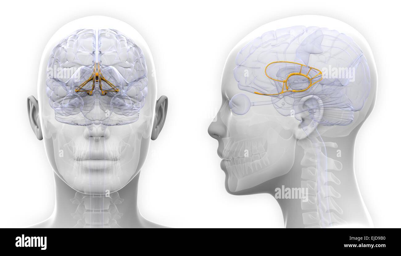 Weibliche Anatomie des limbischen Systems Gehirns - isoliert auf ...