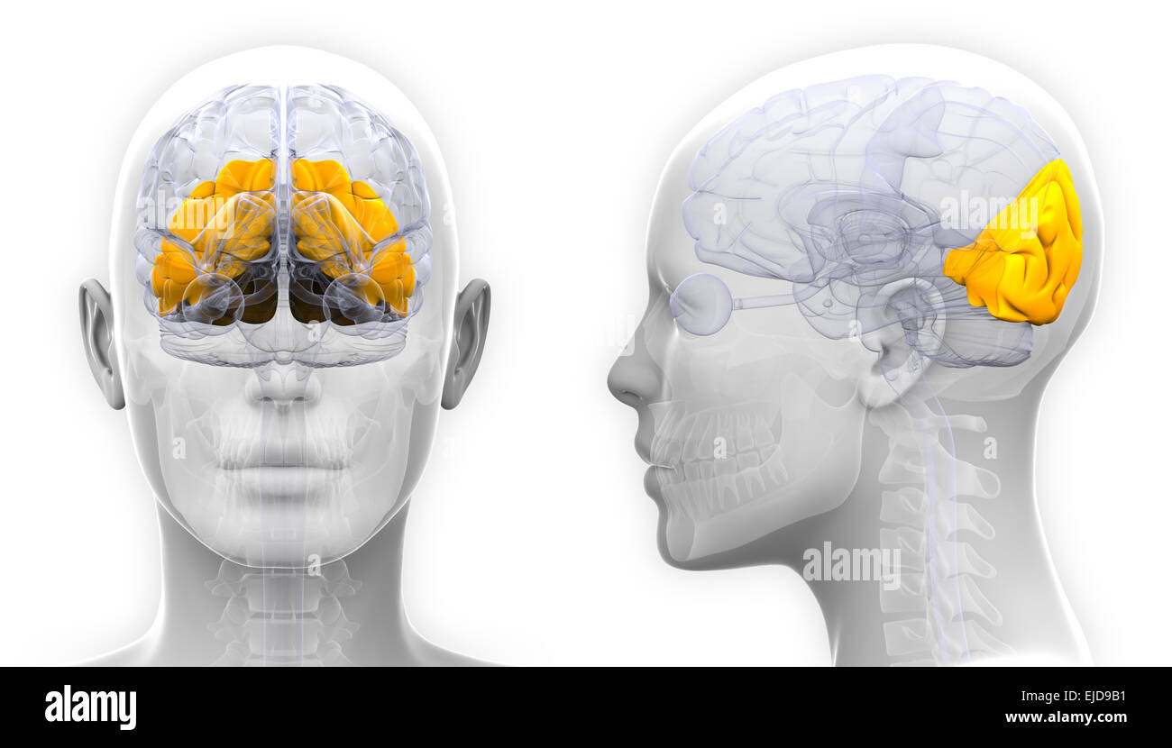 Occipital Lobe Stockfotos & Occipital Lobe Bilder - Alamy