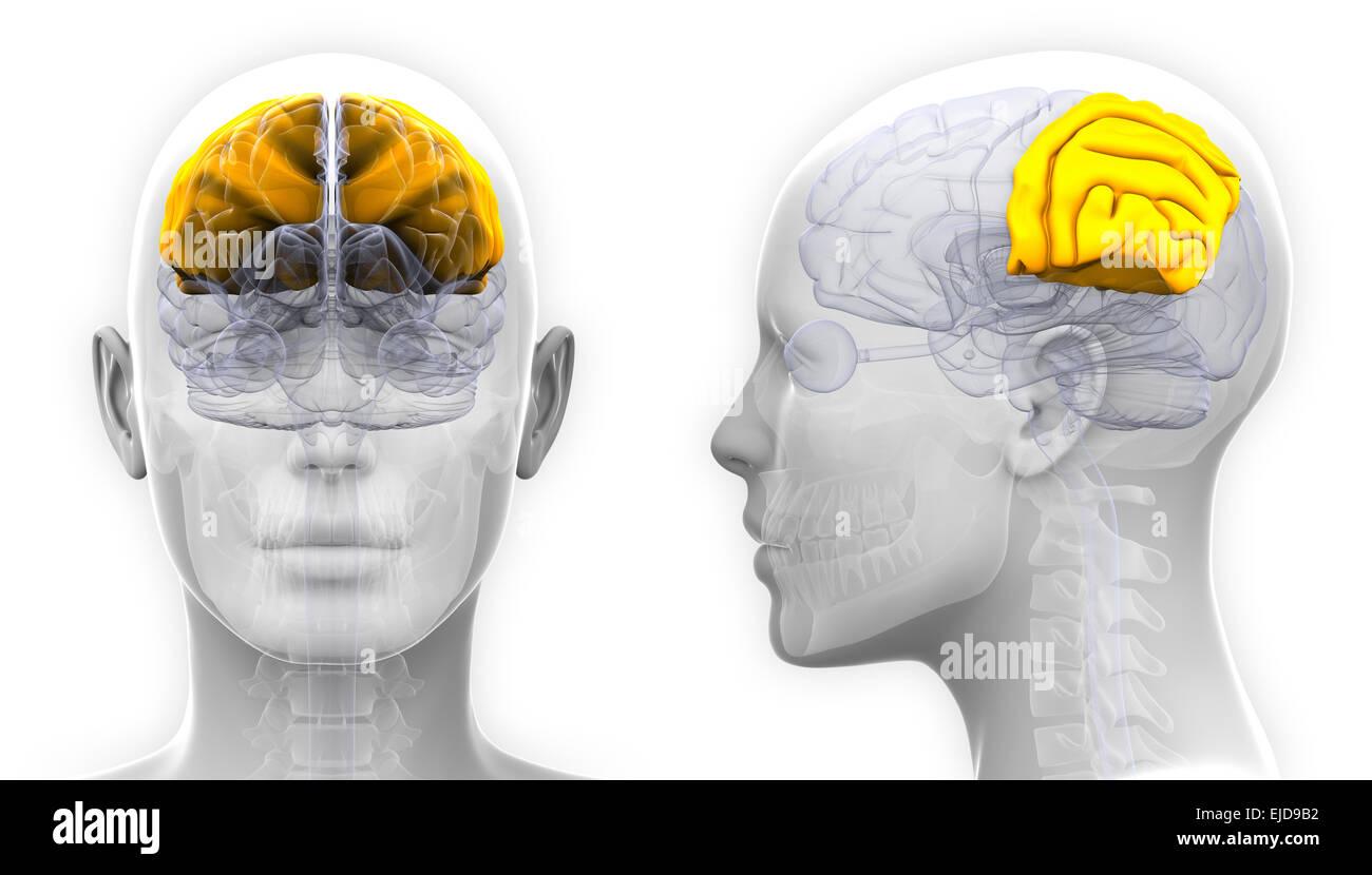 Ausgezeichnet Diagramm Gehirn Mit Etiketten Ideen - Menschliche ...