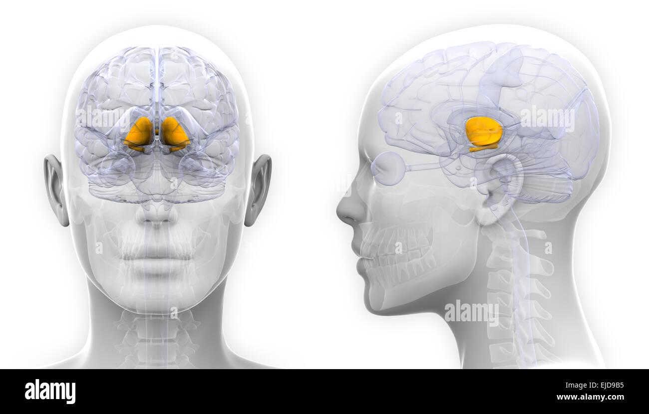Gemütlich Gehirn Anatomie Basalganglien Galerie - Menschliche ...