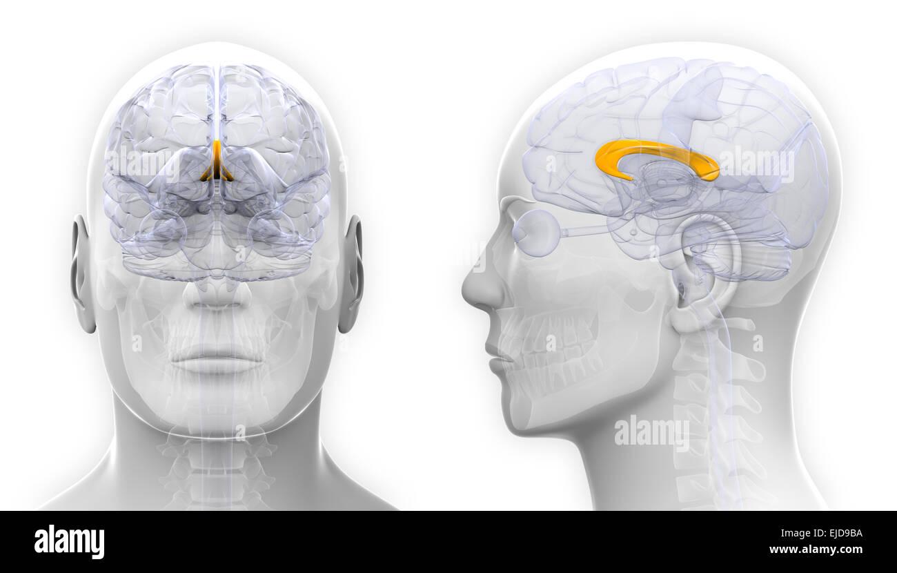 Männliche Corpus Callosum-Gehirn-Anatomie - isoliert auf weiss ...