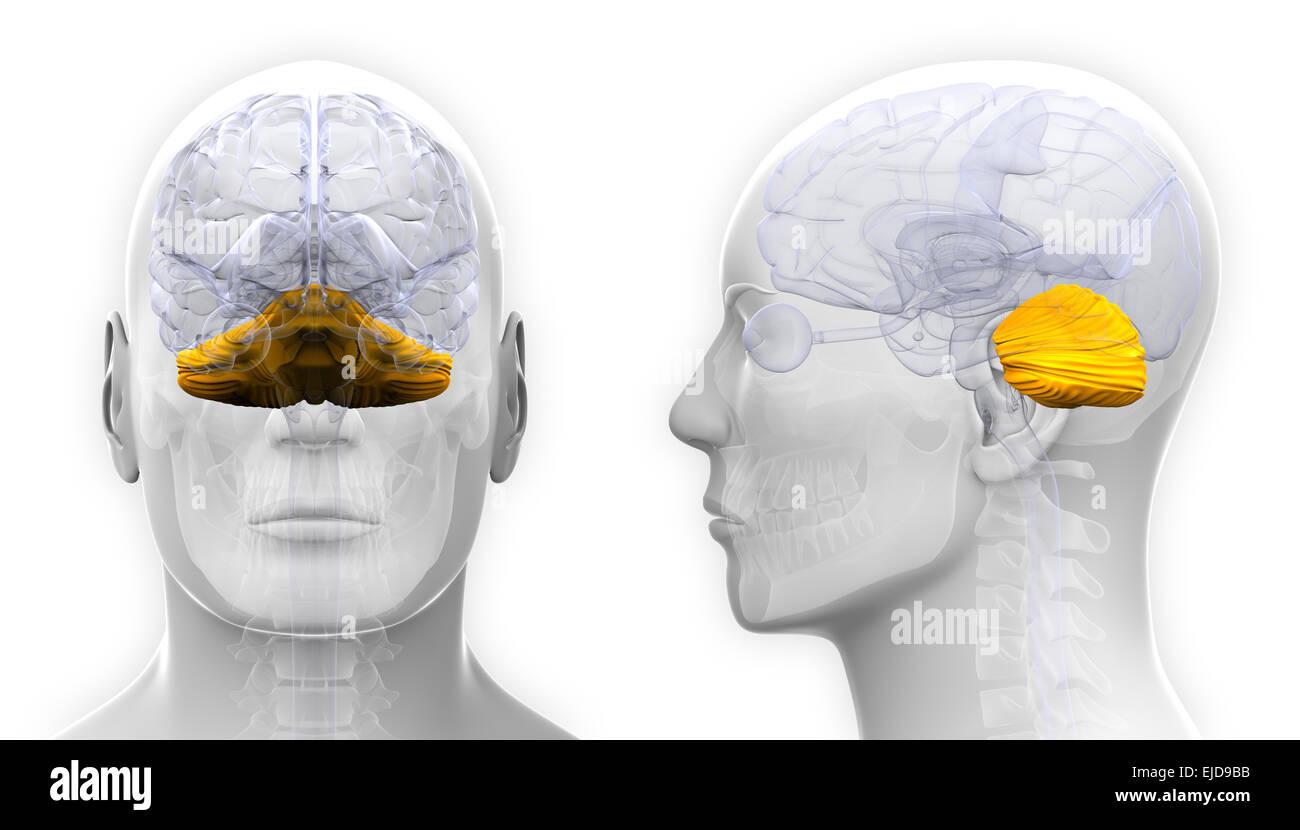 Männliche Kleinhirn-Gehirn-Anatomie - isoliert auf weiss Stockfoto ...