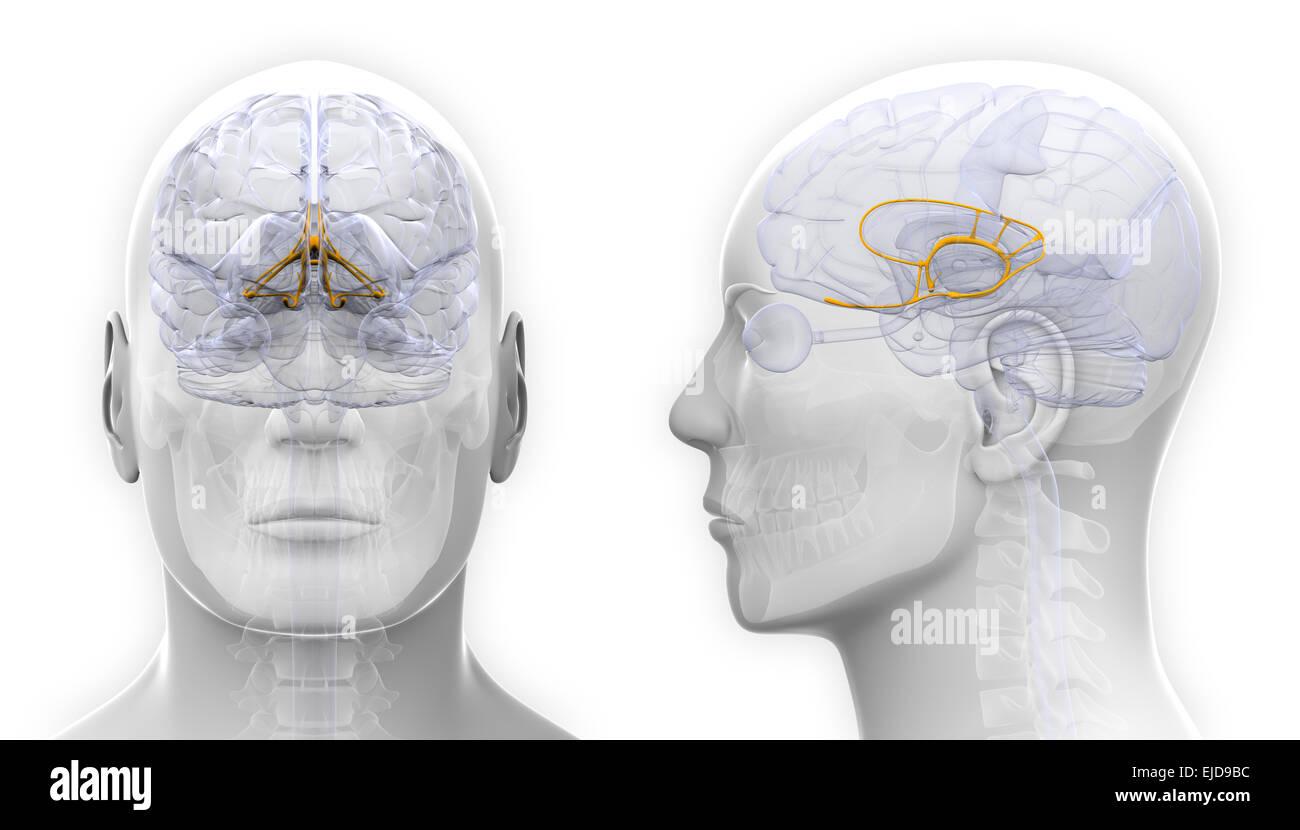 Männliche limbischen System Gehirn-Anatomie - isoliert auf weiss ...