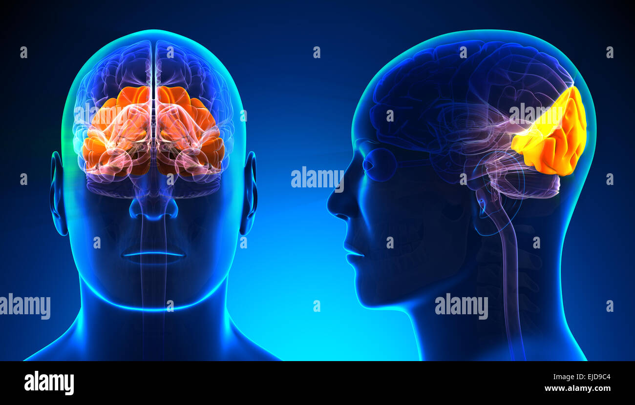 Occipital Lobe Stockfotos & Occipital Lobe Bilder - Alamy