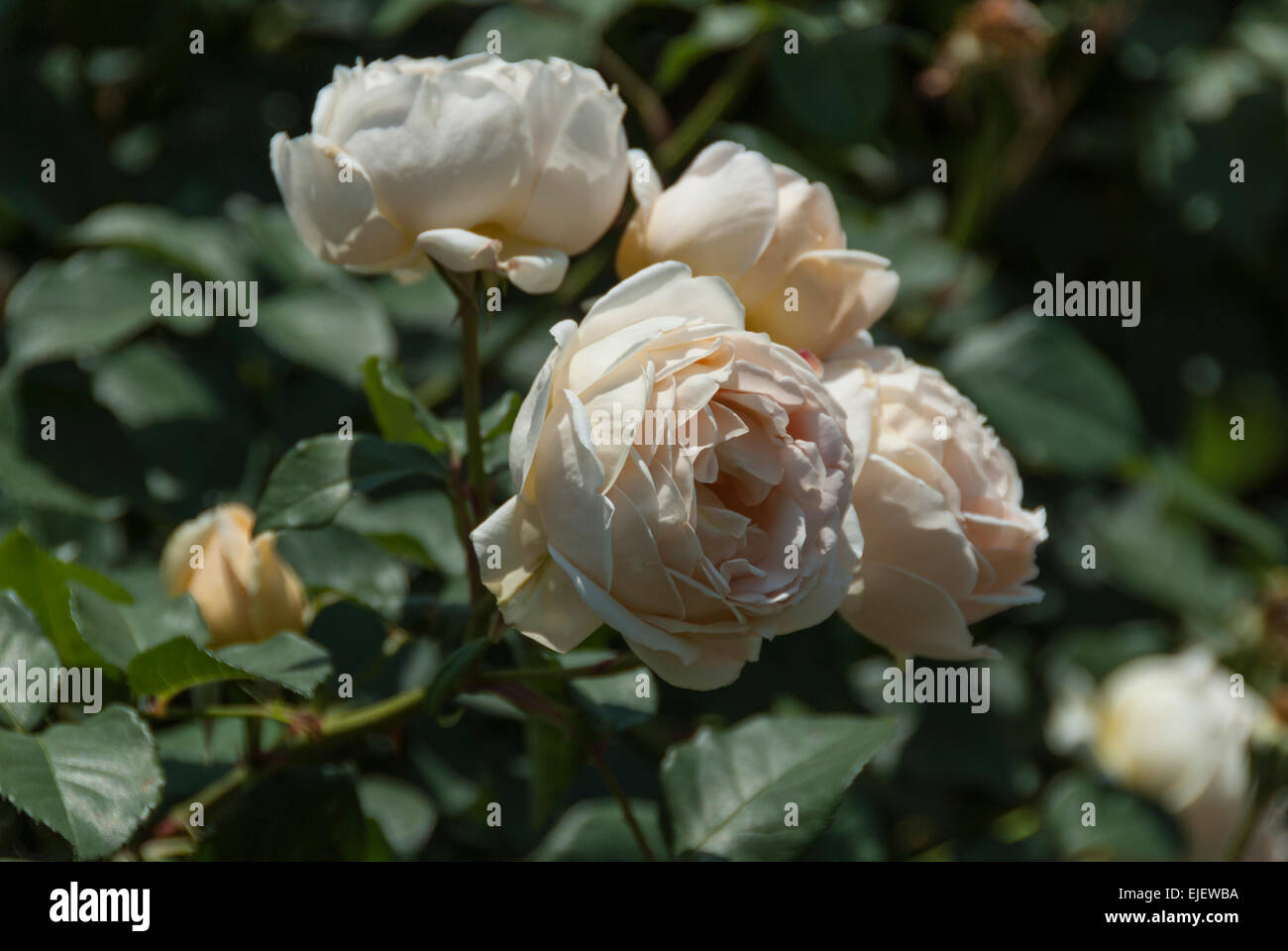 Jude the Obscure Rose in voller Blüte. Stockfoto