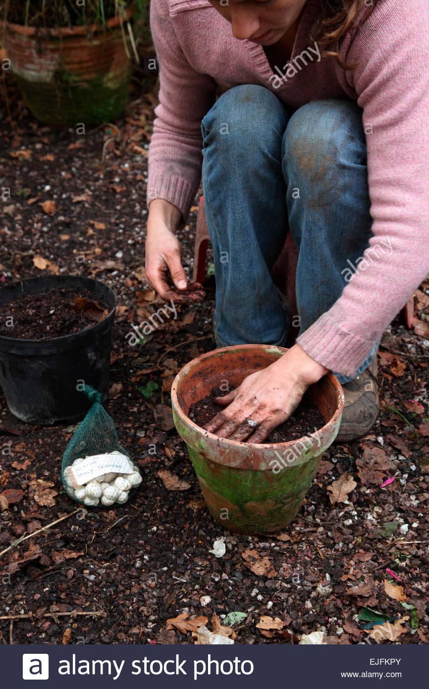 blumenzwiebeln pflanzen im herbst, in tontöpfen terrakotta - allium
