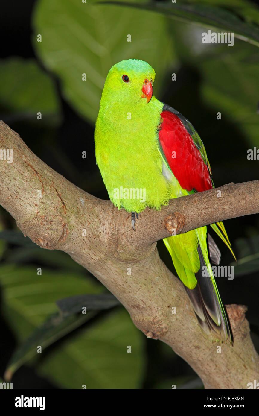 Red-Winged Parrot, Aprosmictus Erythropterus. Diese Vögel sind ursprünglich aus Australien und Papua Neu Stockbild