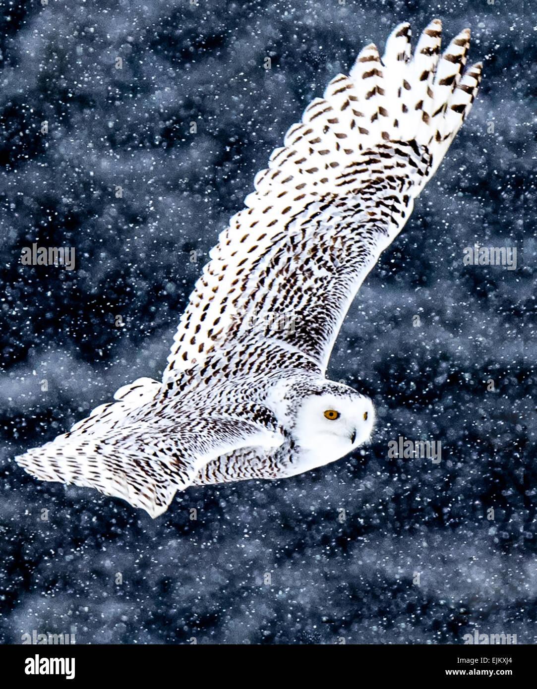 Schnee-eulen sehen roaming Felder auf der Suche nach Nahrung während der Wintermonate. Stockbild