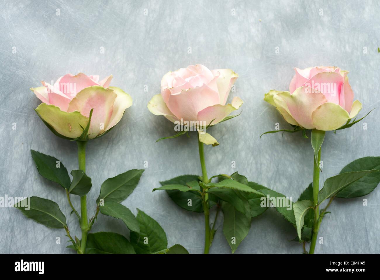 rosa und grün schneiden rosen in stillleben anordnung stockfoto