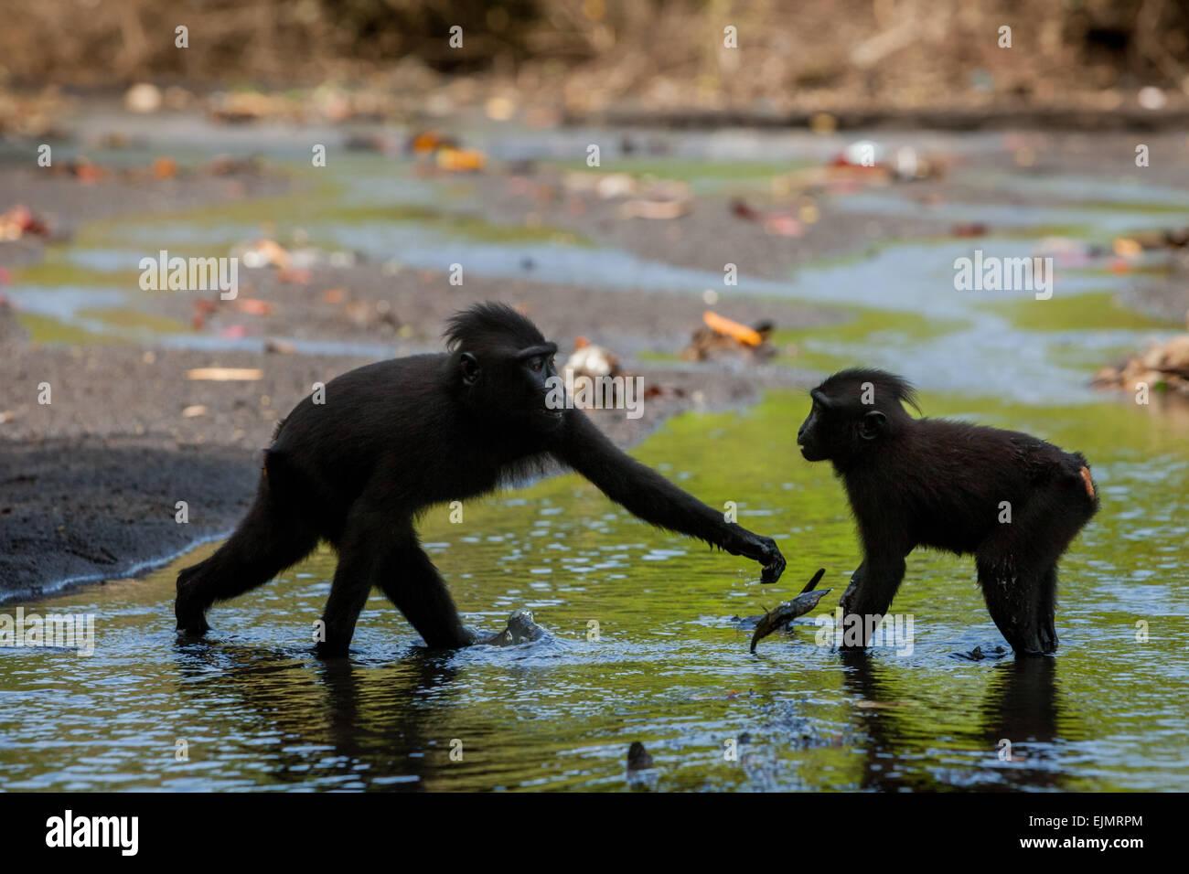 Sulawesi schwarz-crested Makaken (Macaca Nigra) spielen auf einer Wasserstraße in Tangkoko Duasudara Nature Stockbild